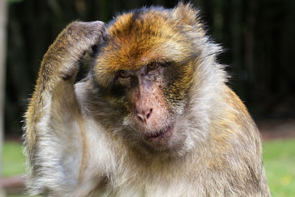 retirement pondering barbary-ape