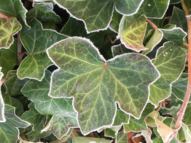 frost tipped ivy