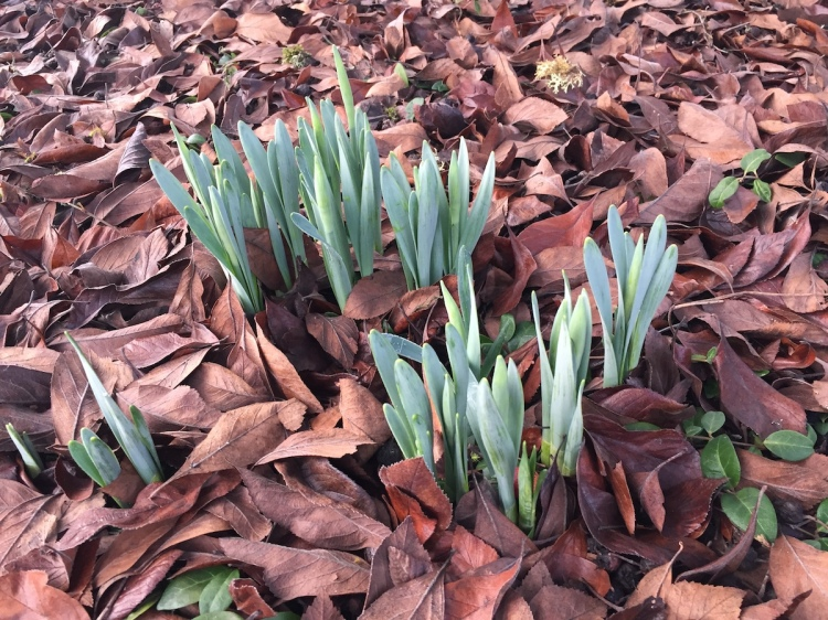 Bulbs emerging from a bed of leaves