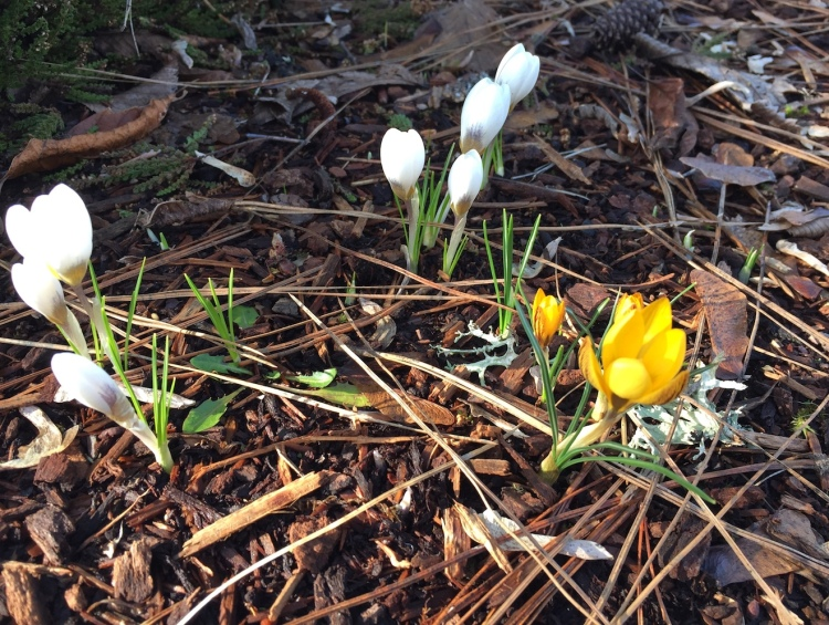 yellow and white crocus