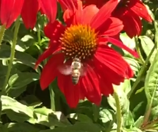 bee on red coneflower
